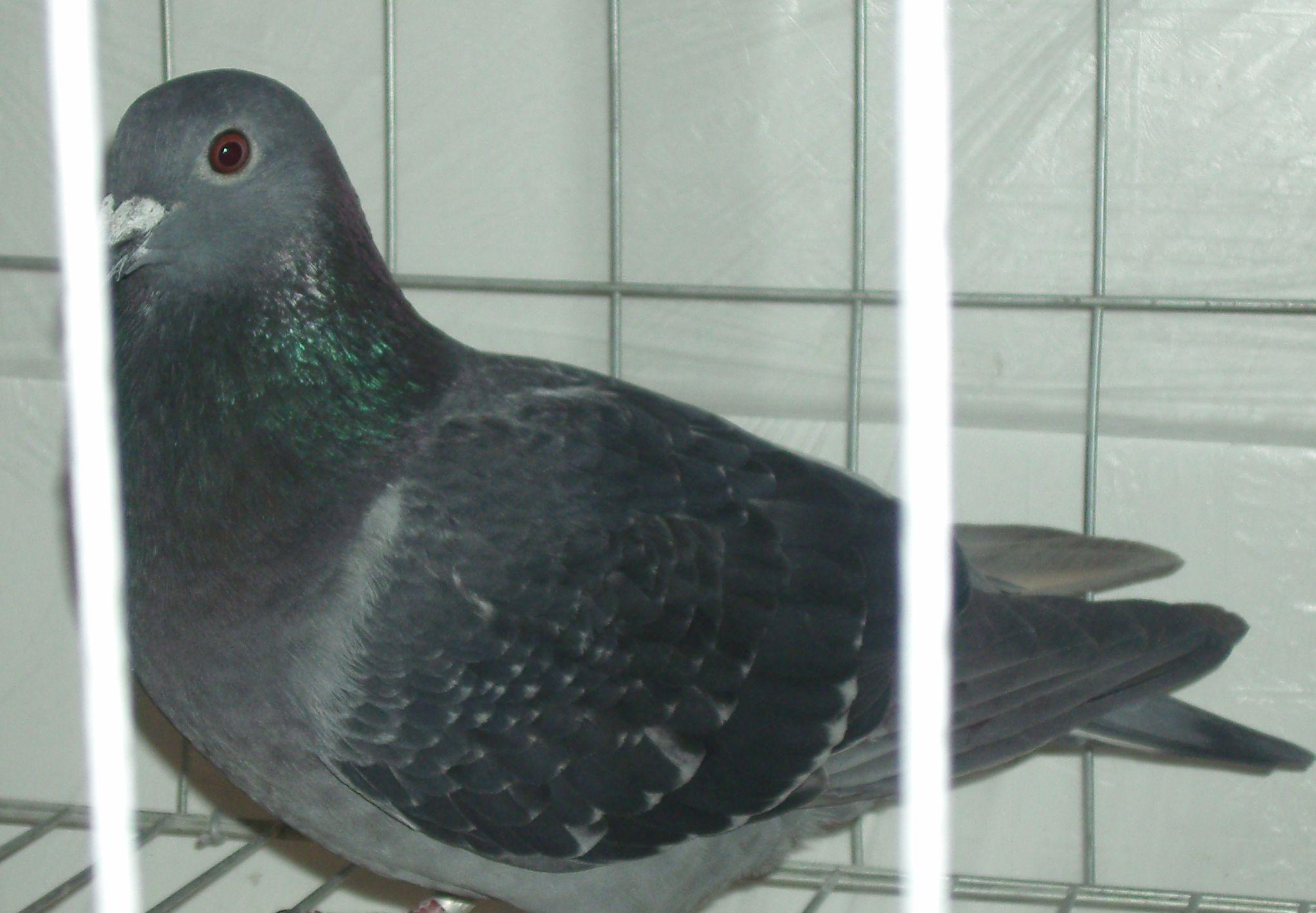 这只鸽子能配出好的羽色吗图片