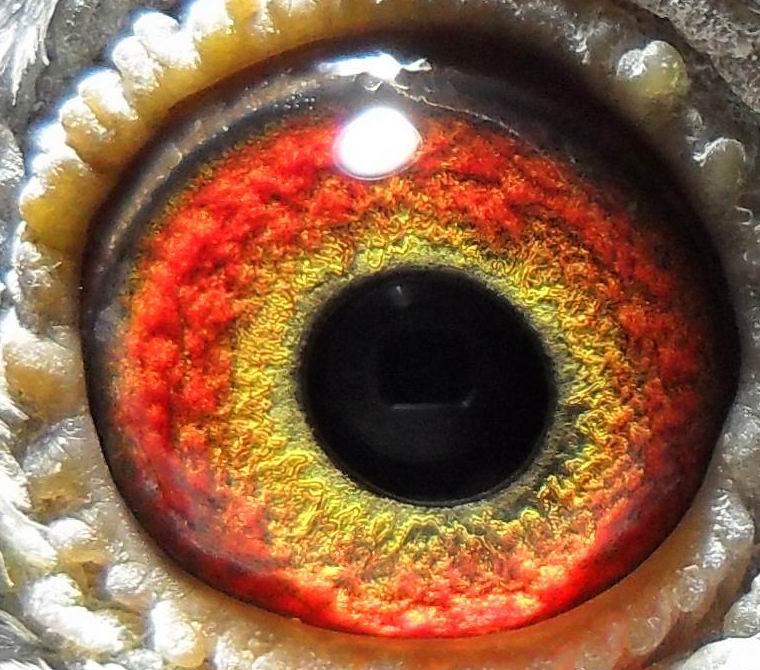 赛鸽眼睛配对图片 信鸽配对技巧 500公里鸽眼配对图