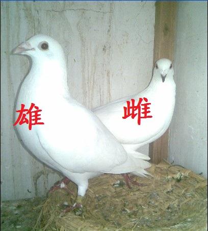 鸽子怎么分公母 鸽子怎么分公母图解 小鸽子怎么分公母图片