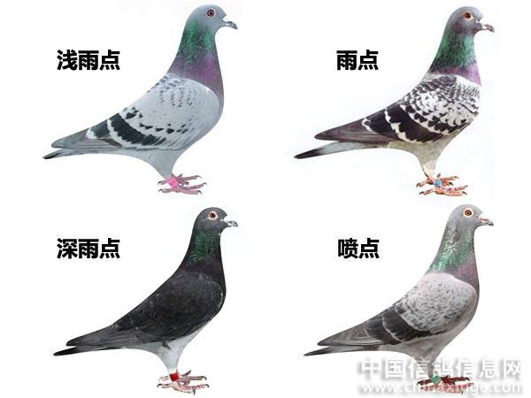 信鸽羽色配对_信鸽羽色配对-天下鸽问-ask.chinaxinge.com