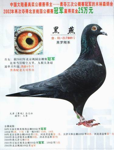 关于黑鸽子的探讨图片