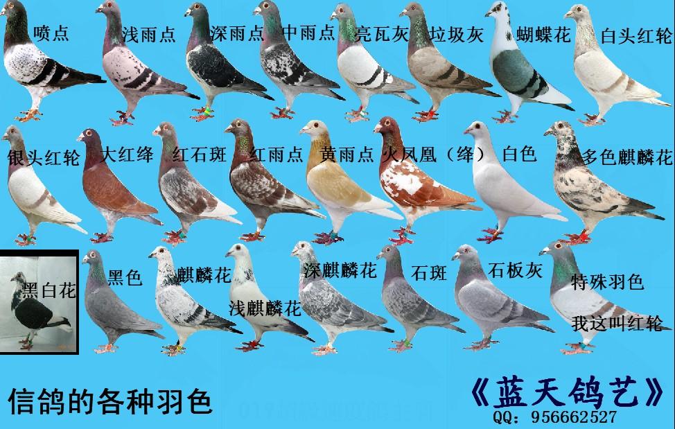 亮灰色配雨点出什么颜色的鸽子图片