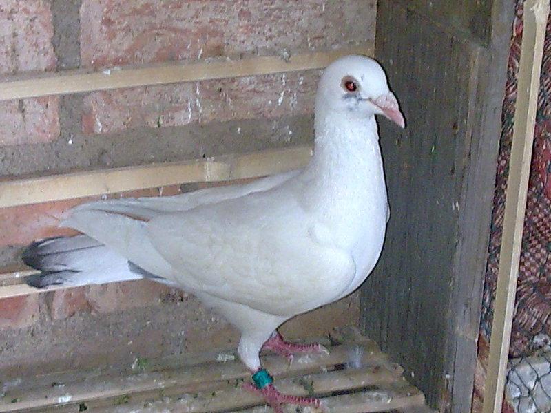 鸽子怎么分公母牡丹鹦鹉怎么分公母; 信鸽好坏鉴别图片-关于鸽子好图片