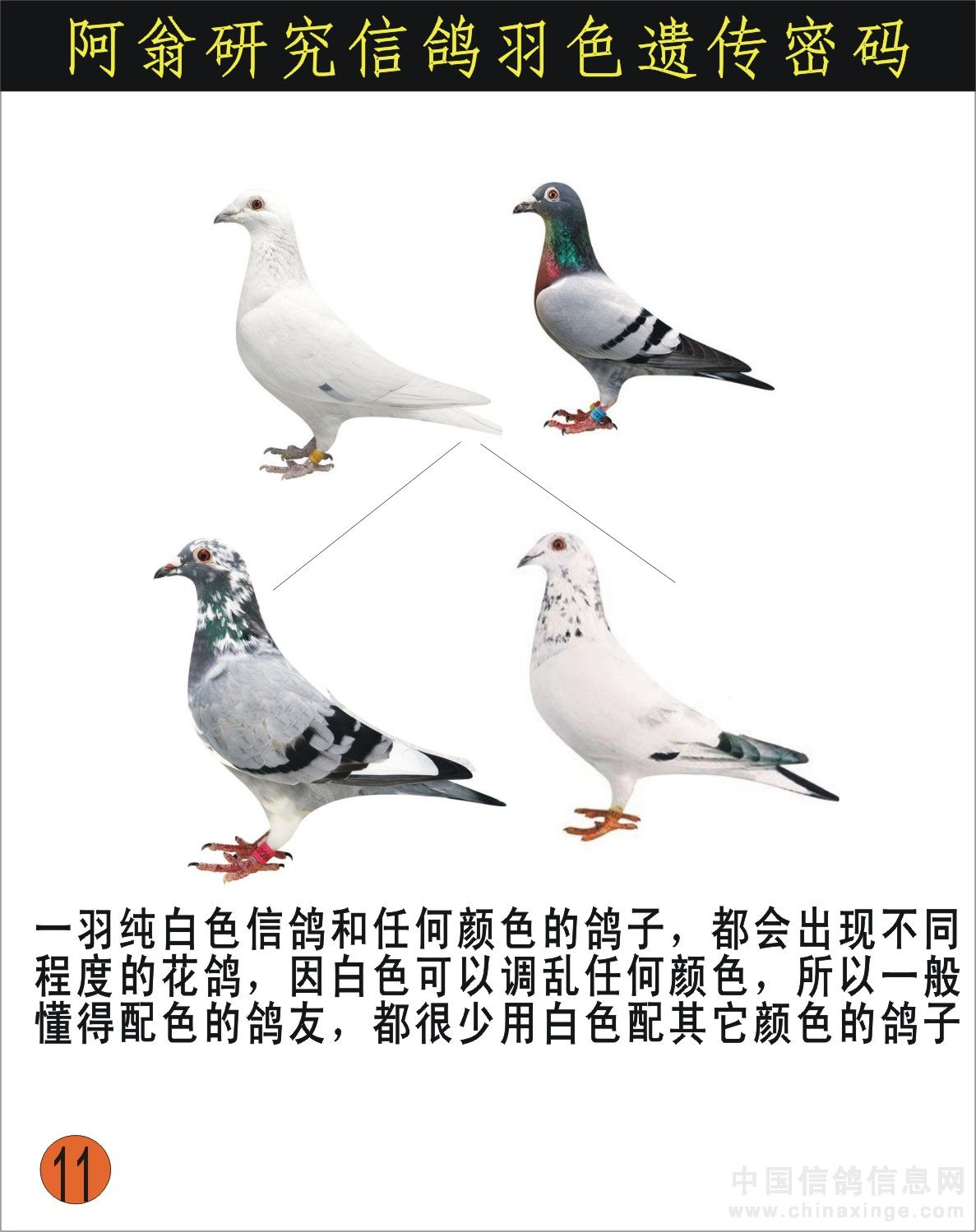 信鸽羽色配对_村松白可以配瓦灰信鸽吗,出什么羽色。-天下鸽问-ask.chinaxinge.com