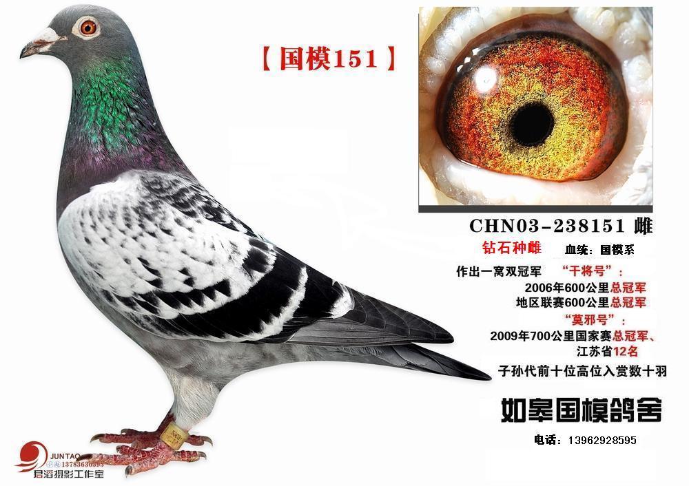 绿眼志赛鸽配什么样的眼志好图片