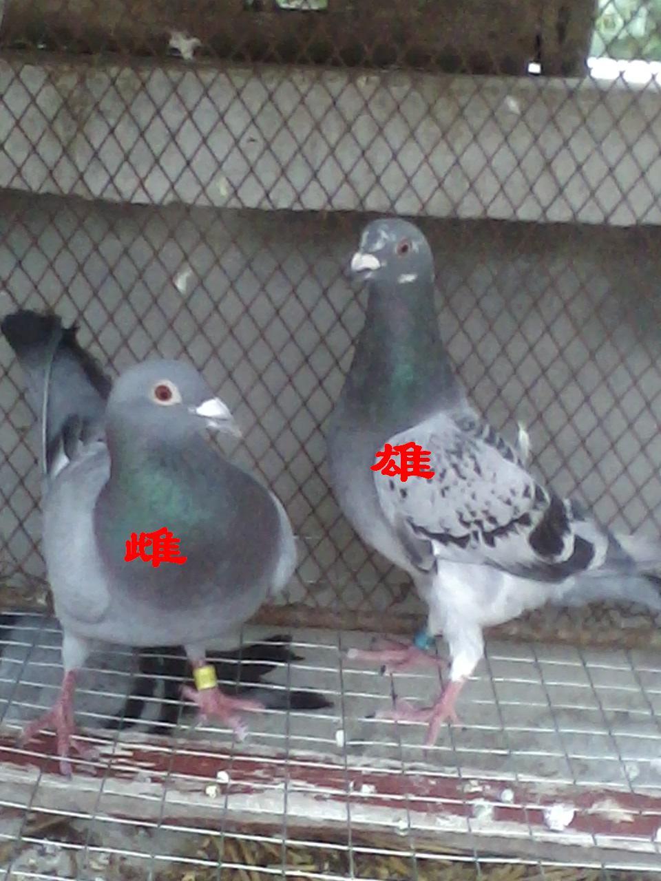 鸽子怎分公母 图解 鸽子怎么分辨公母 图图片