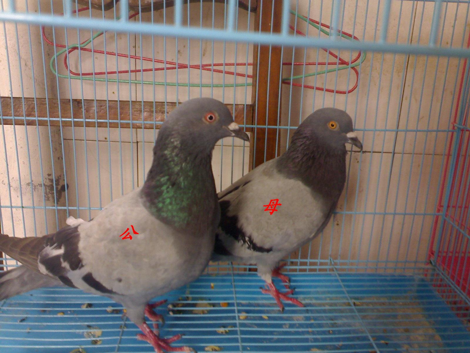 鸽子怎么分公母图解图片