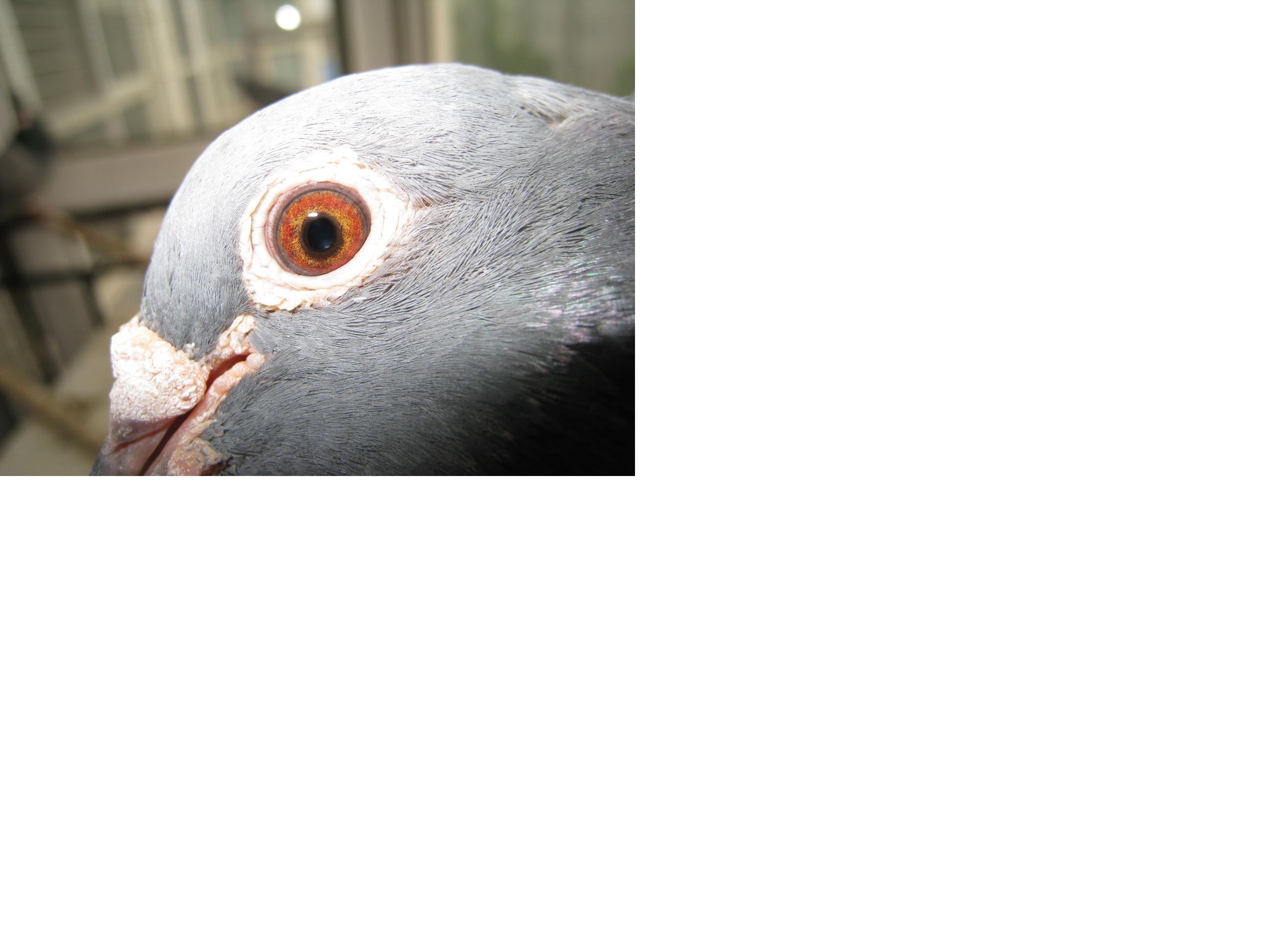 信鸽鸽眼好坏图片 怎么看鸽子的眼睛好坏呢