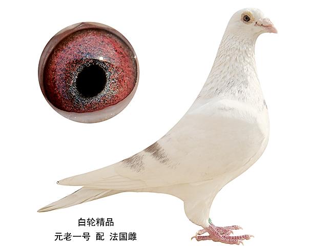 鸟类鸽鸽子动物图示鸟图片648_486肝癌蜘蛛痣在面的教学图片