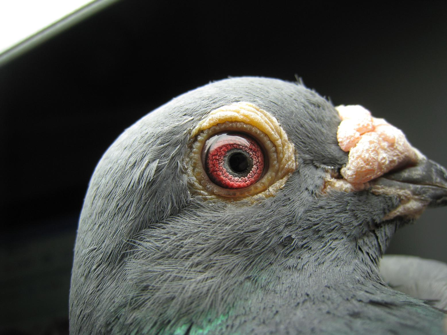 信鸽眼解刨图_请分析刚买的雄鸽鸽眼的好坏(左)-天下鸽问-ask.chinaxinge.com