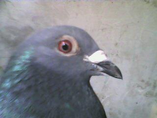 鸽子公母鉴定