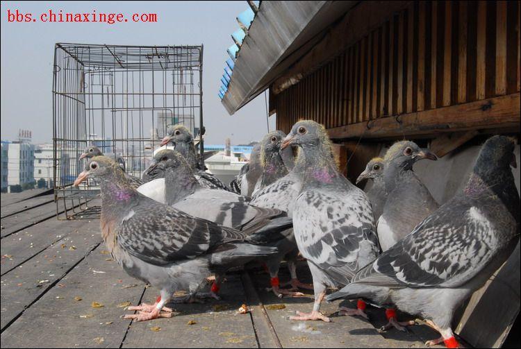 鸽子鸽鸟类鸟兔子750_503童谣动物并没什么图片