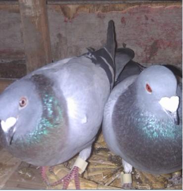 怎样分辨鸽子的公母图片图片