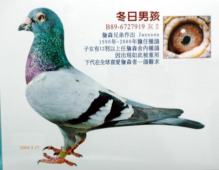 信鸽紫罗兰鸽眼志图片 紫罗兰眼信鸽的图片