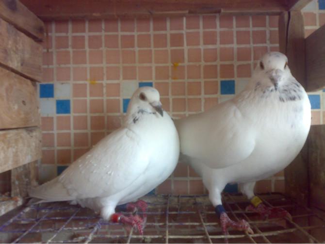 求助 鸽子叫声沙哑 其他方便正常图片