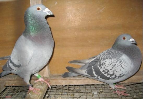 大师看看这2对鸽子怎么样图片
