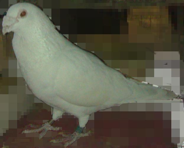谁有苍白大鼻子信鸽的图片
