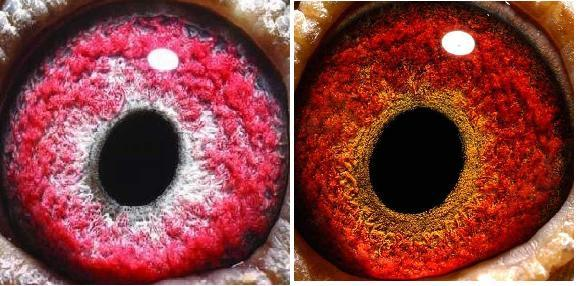 信鸽眼砂怎样配对(583x286)-信鸽眼砂 信鸽眼砂好坏鉴别图 少见的