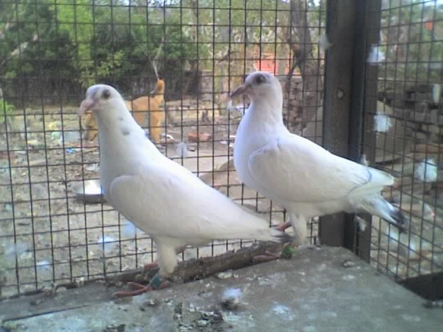 白色赛鸽种鸽出售 赛鸽种鸽 最贵的种鸽赛鸽图片