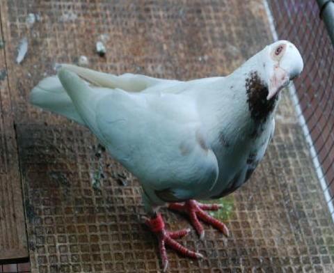 鸽子歪脖子_鸽子得了歪脖子病的防治作者cymwps