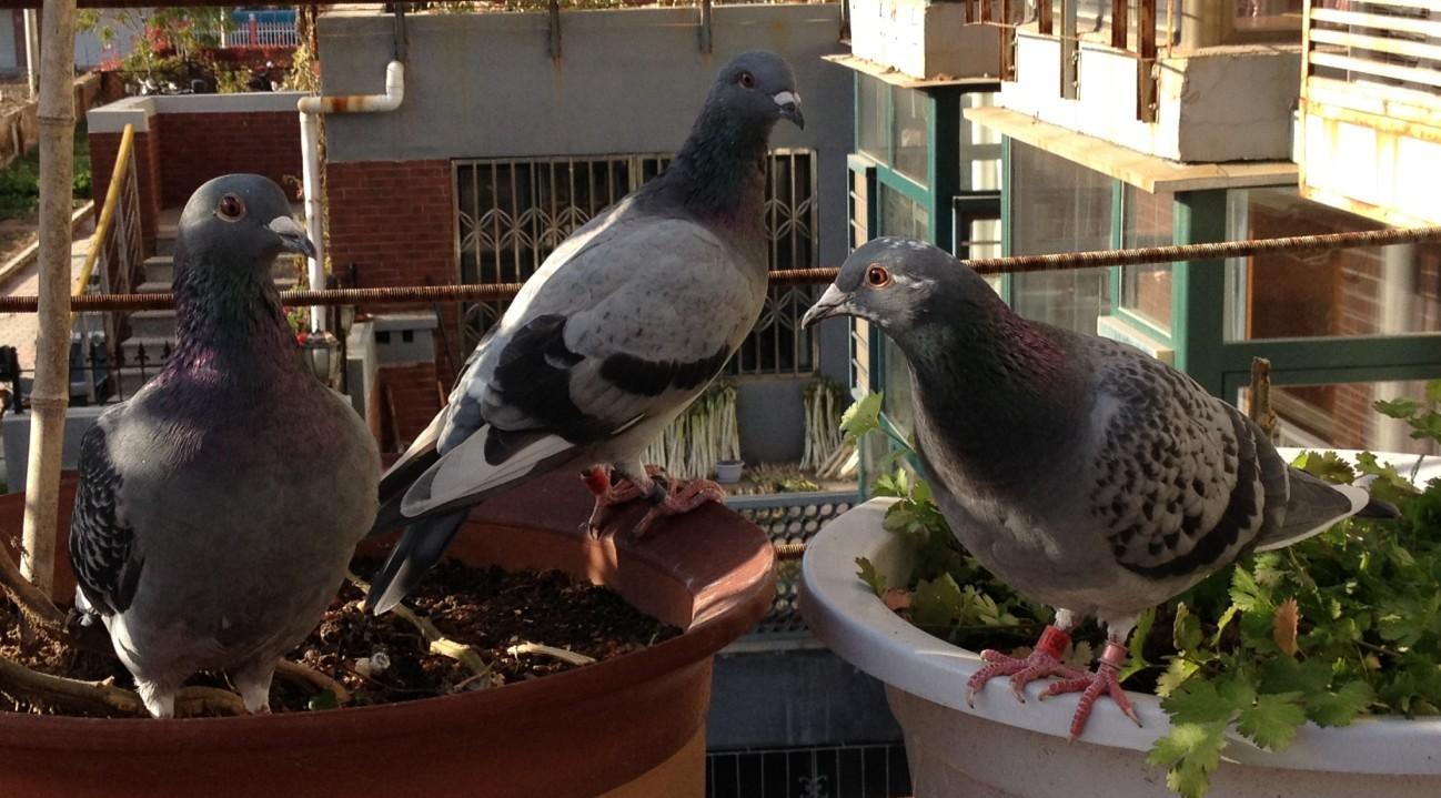 三个多月鸽子和六个多月鸽子争巢没争过六个多月的鸽子图片