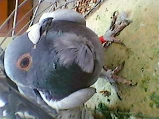 我有一只鸽子,毛脚,胸脯那里有羽毛向上翻