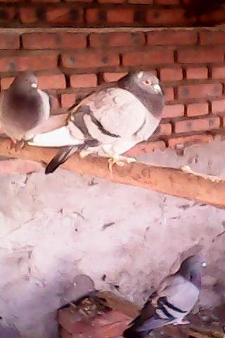 鸽子新城疫粪便图片图片