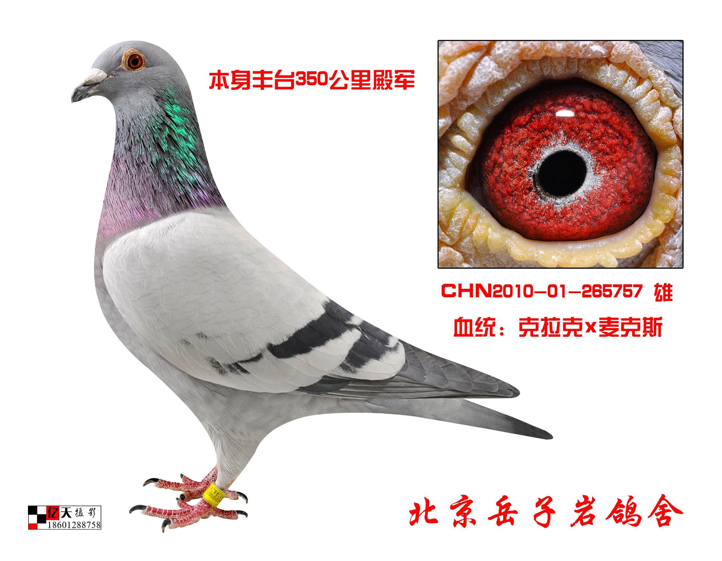 问绿眼底的黄眼鸽子配什么样的眼砂比较好图片