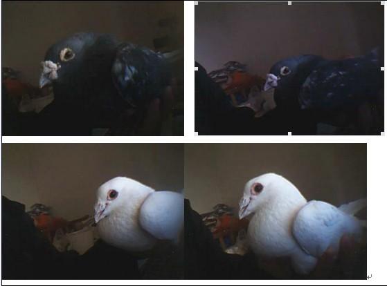 雌 00年的老鸽子 黑雨点图片