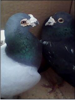 黑雨点鸽子图片