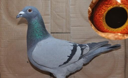 鸽子公母鉴别图片大全 鸽子怎么分辨公母 已解决图片