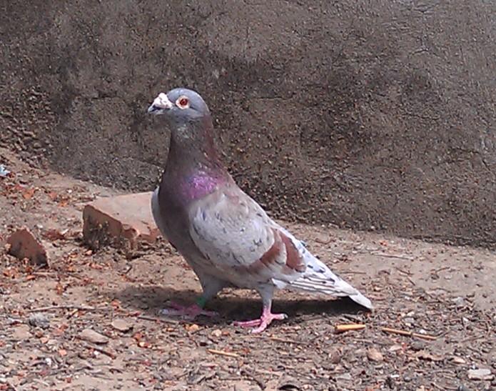 鸽子什么品种好-什么鸽子品种最好