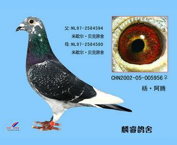 杨阿腾/杨阿腾系类的鸽子多了去了。你可以去百度搜索下杨阿腾信鸽图片...