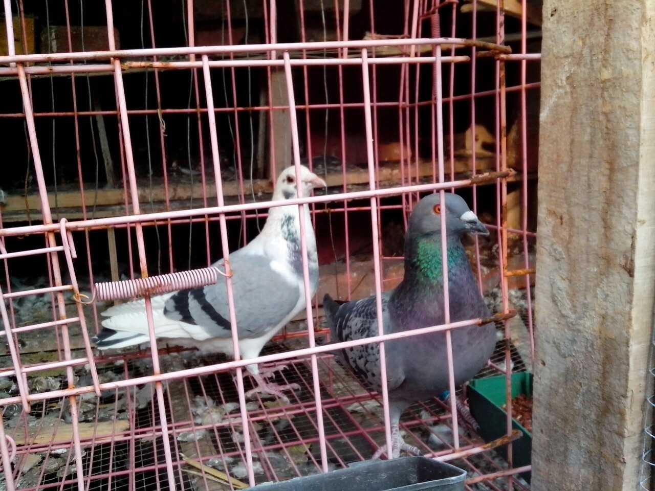 鸽子分辨公母看哪 鸽子图片分辨公母 鸽子公母怎么分辨视频图片