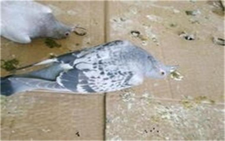 3个仓鼠呆在地上不飞,吃鸽子的时候头一直摇玉米生殖器有很臭的东西图片