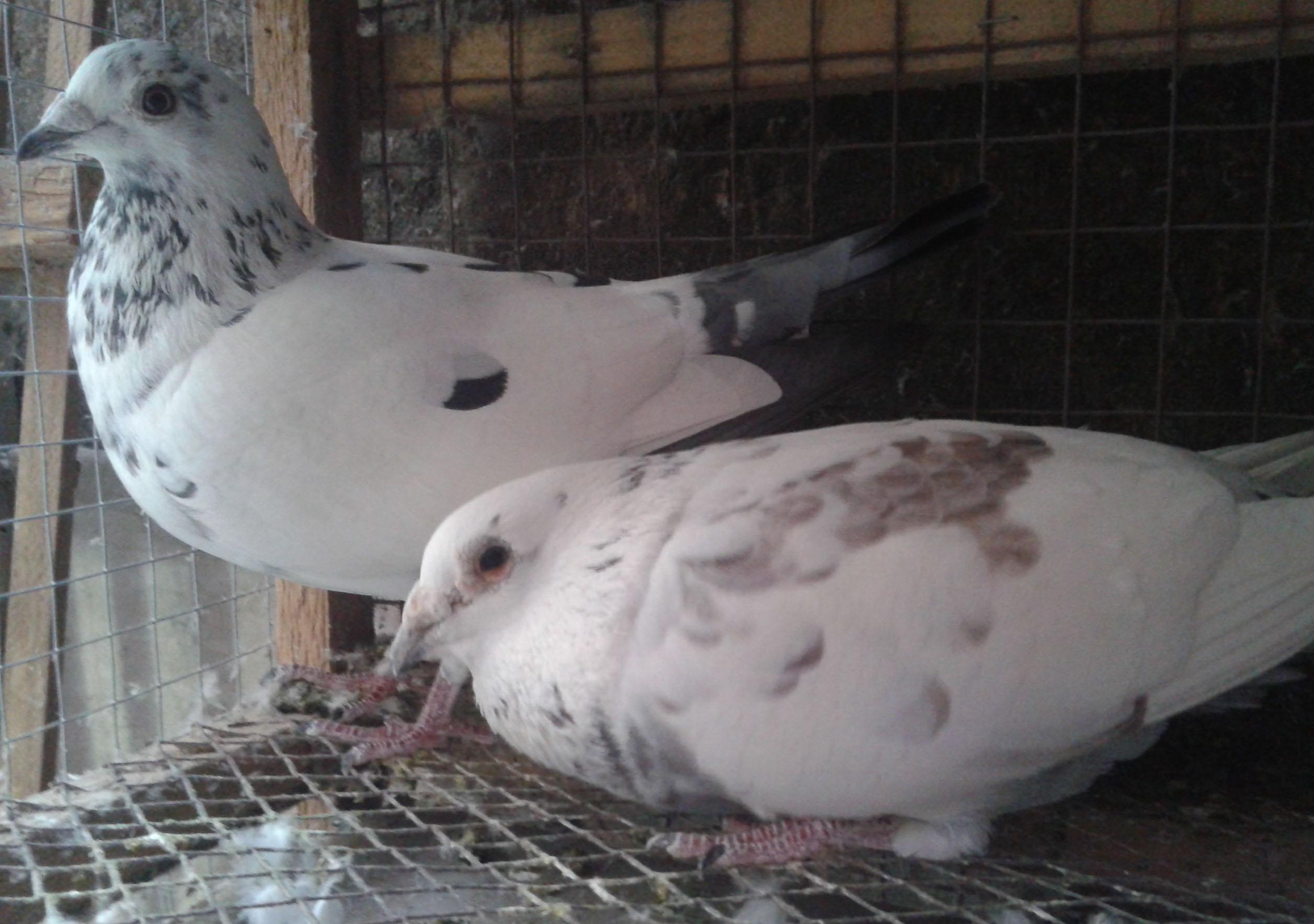 这两只鸽子怎么身上的花纹都是点?