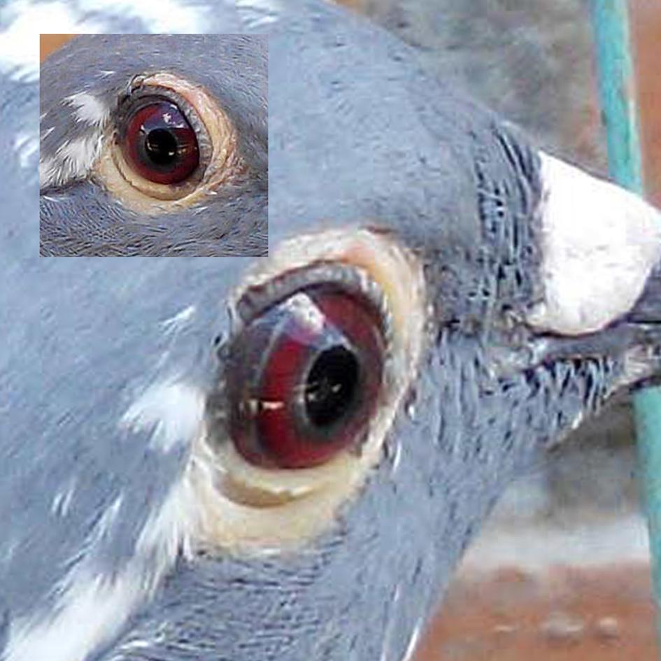 传说中真正紫罗兰眼.请大师鉴定,他父亲是冠军鸽眼与他一样
