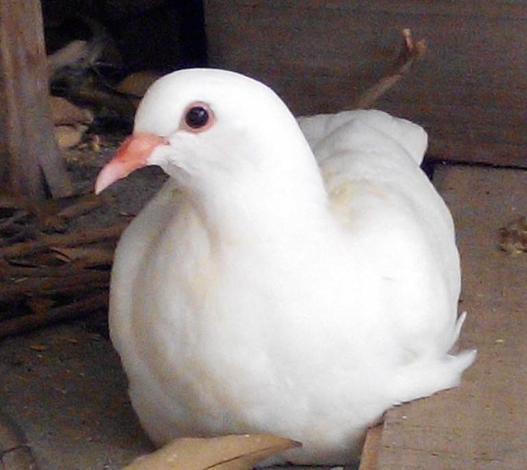 怎样分辨鸽子的公母图片