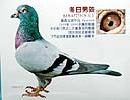 仅从眼砂随着鸽子高速飞行,眼睛供血运动加快,血管膨胀和抗疲劳的角度图片